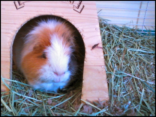Lewis the Guinea Pig